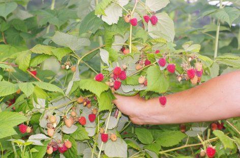 Posturi vacante în UE/Muncitorii pentru agricultură, din  nou la mare căutare